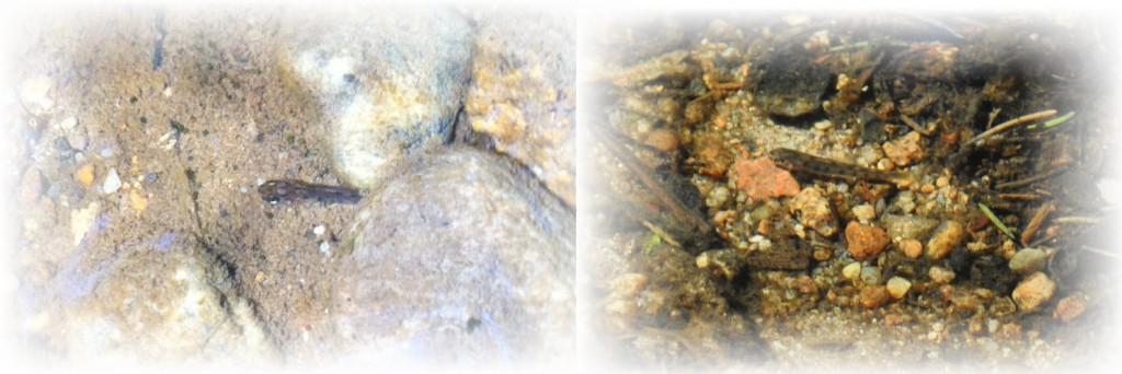 Bilde satt sammen fra 2 av Haldens gytebekker (Skottene og Hjelmungen):